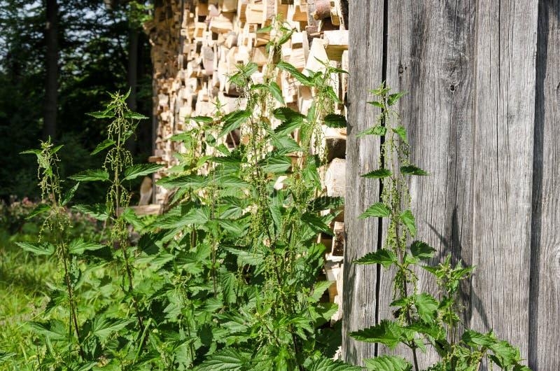Стрекательные крапивы рядом с woodshed стоковые фото