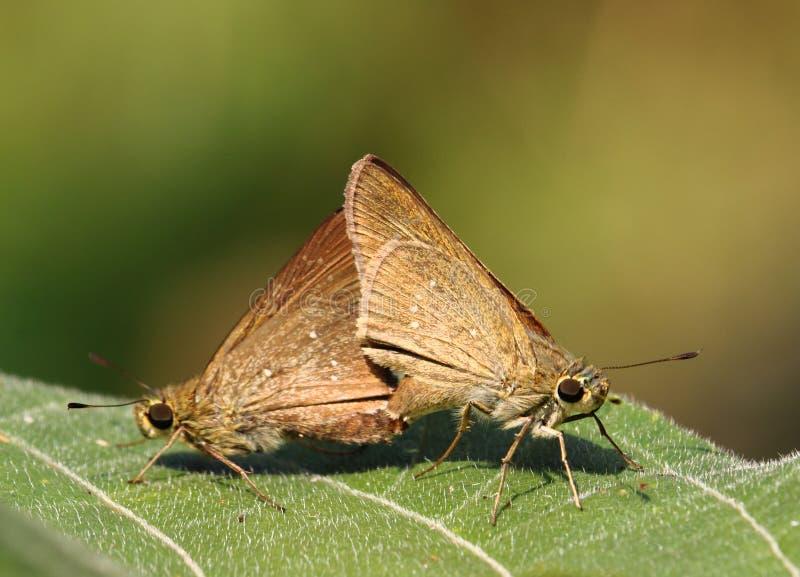 Стремительный покрашенный сопрягать бабочки стоковая фотография rf