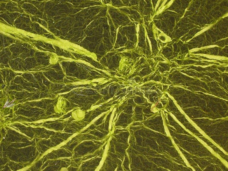 стренги водорослей стоковые фото