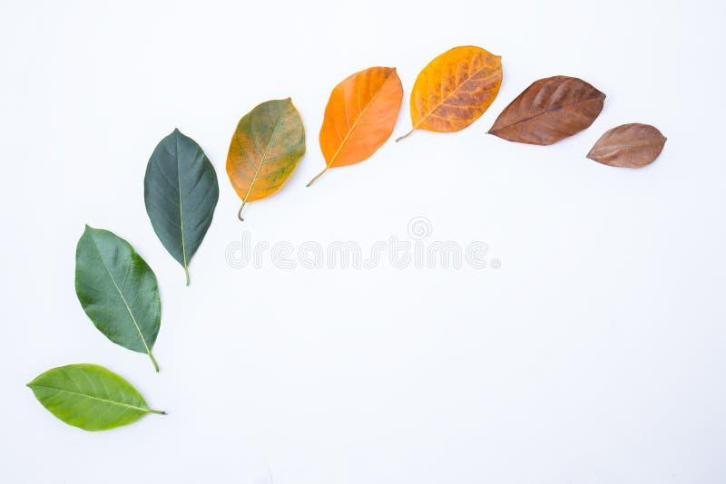 Стрехи крупного плана в другом цвете и времени листьев дерева джекфрута стоковые изображения rf