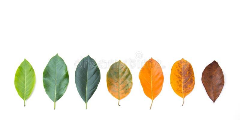 Стрехи крупного плана в другом цвете и времени листьев дерева джекфрута стоковое фото rf
