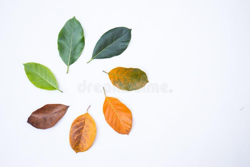 Стрехи крупного плана в другом цвете и времени листьев дерева джекфрута стоковые фотографии rf
