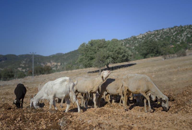Стриженые овцы и козы стоковая фотография rf