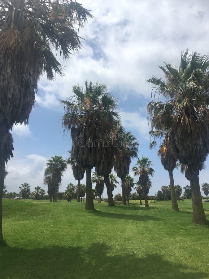 Строка высокорослых пальм стоковое изображение rf