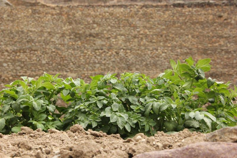 Строка заводов картошки на террасах стоковое изображение rf