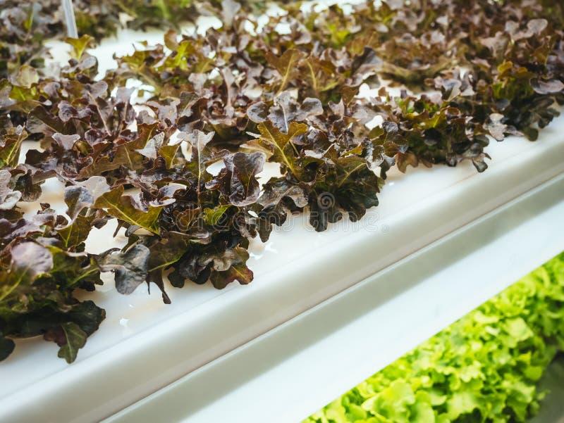 Строка завода овощей парника растет с светлым крытым земледелием приведенным фермы стоковая фотография