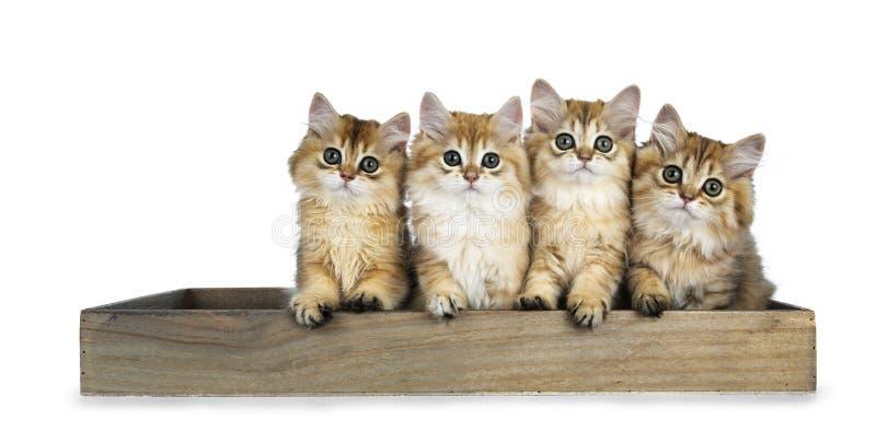 Строка 4 золотых великобританских Longhair котят кота сидя в деревянном подносе, смотря прямо в de камере с большими зелеными гла стоковая фотография