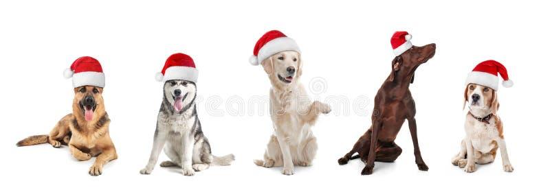 Строка милых собак с шляпами Санта Клауса стоковая фотография