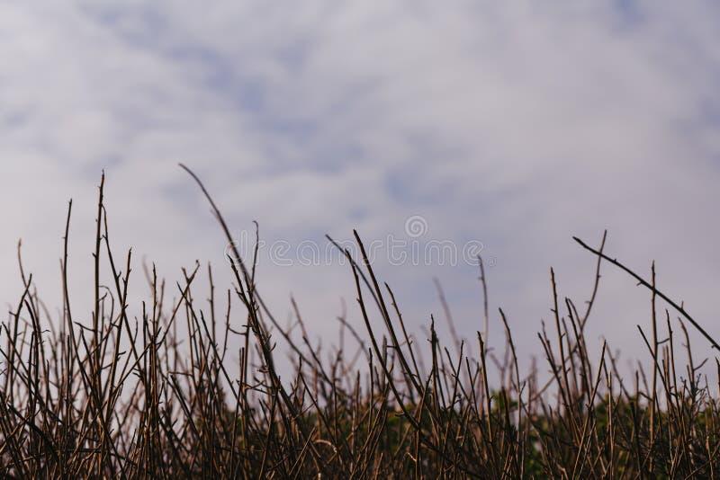 Строка тростников и взгляд облаков и неба, на прибрежном следе в Pacifica, Калифорния стоковые изображения rf