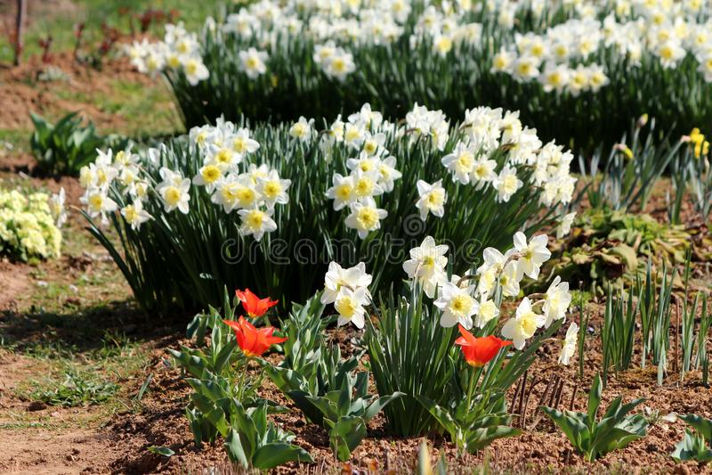 Строки белых цветковых растений Narcissus или Daffodil постоянных herbaceous смешанных с яркими тюльпанами красного цвета полност стоковые фотографии rf