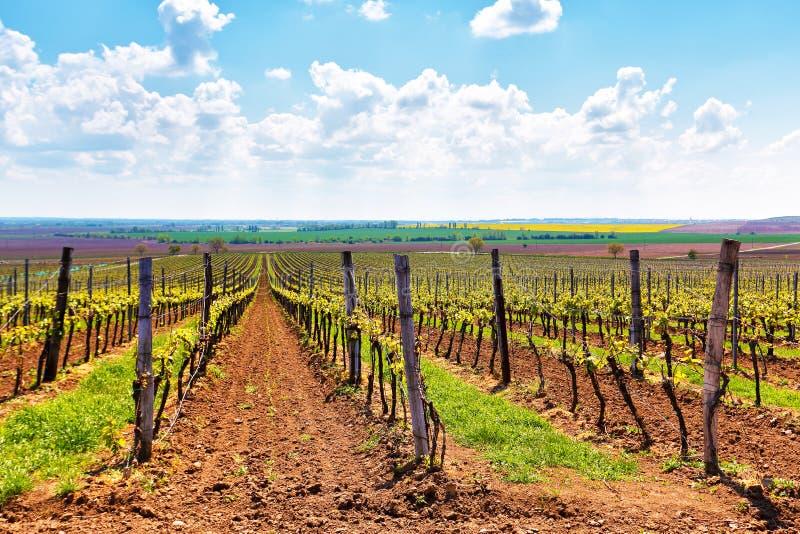 Строки весны виноградных лоз виноградника стоковые фотографии rf