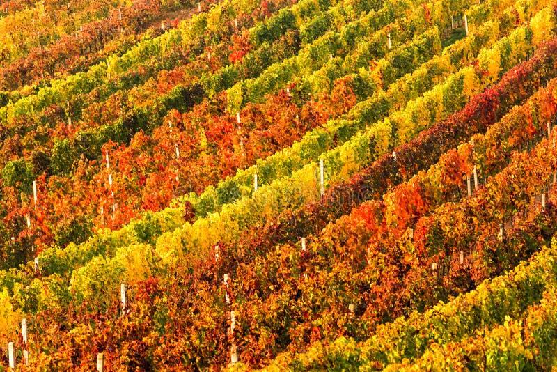 Строки виноградных лоз виноградника виноградники долины rhine ландшафта Германии осени цветастые Виноградники виноградины южной М стоковое изображение
