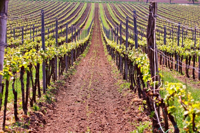 Строки виноградных лоз виноградника Ландшафт весны с зеленым vineya стоковая фотография rf