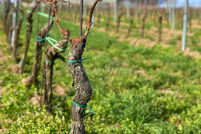 Строки виноградных лоз виноградника Ландшафт весны с vineya стоковая фотография rf