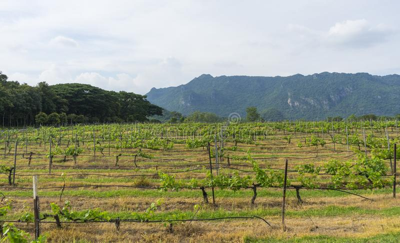 Строки виноградных лоз виноградника стоковое изображение