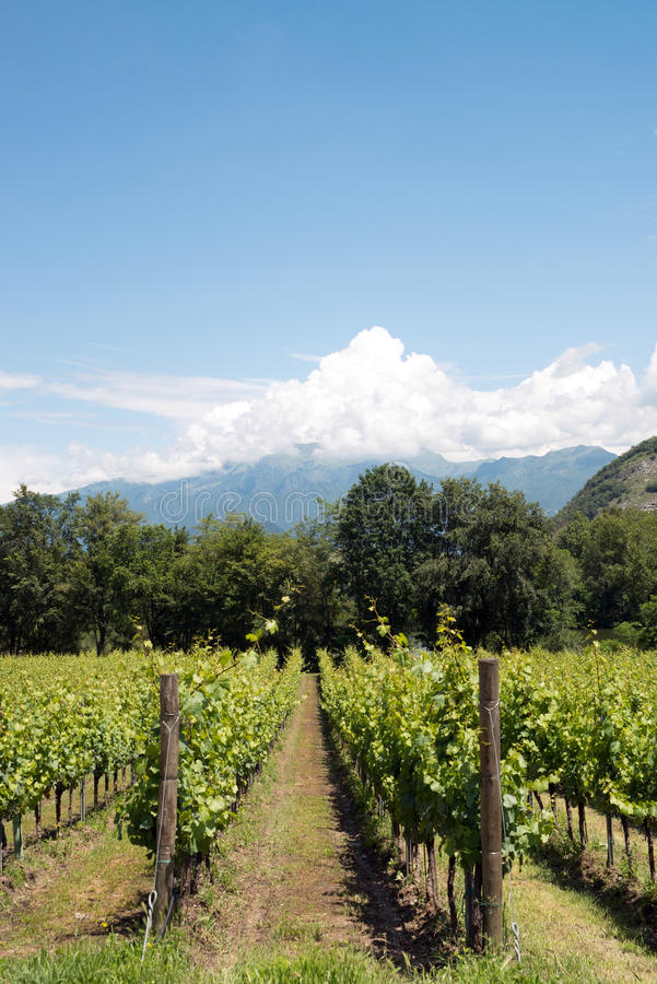 Строки виноградного вина - Италия, Franciacorta стоковые фото