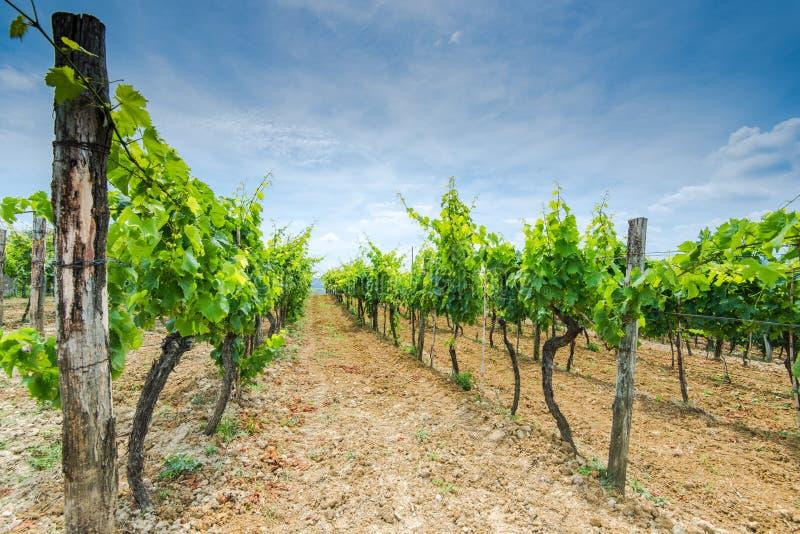 Строки виноградной лозы в полях стоковые фото
