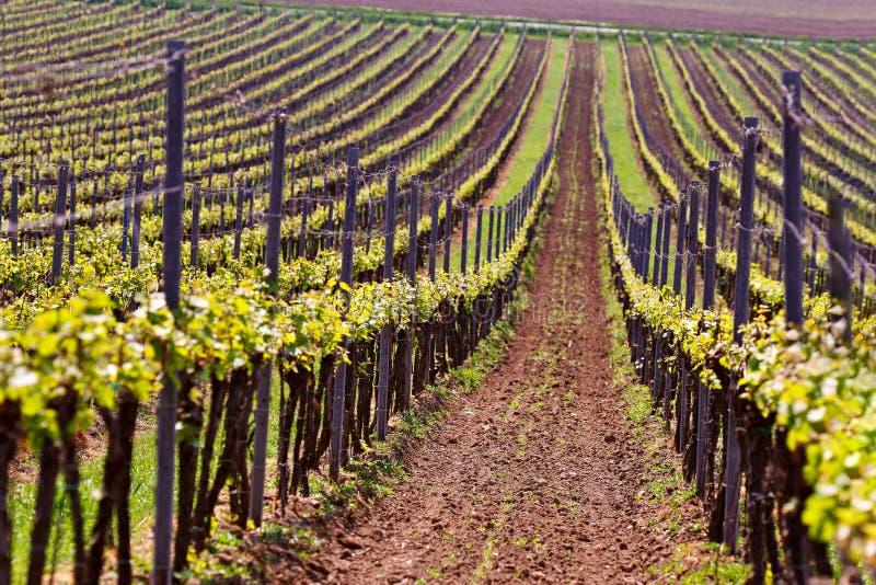 Строки виноградных лоз виноградника Ландшафт весны с зеленым vineya стоковые изображения rf