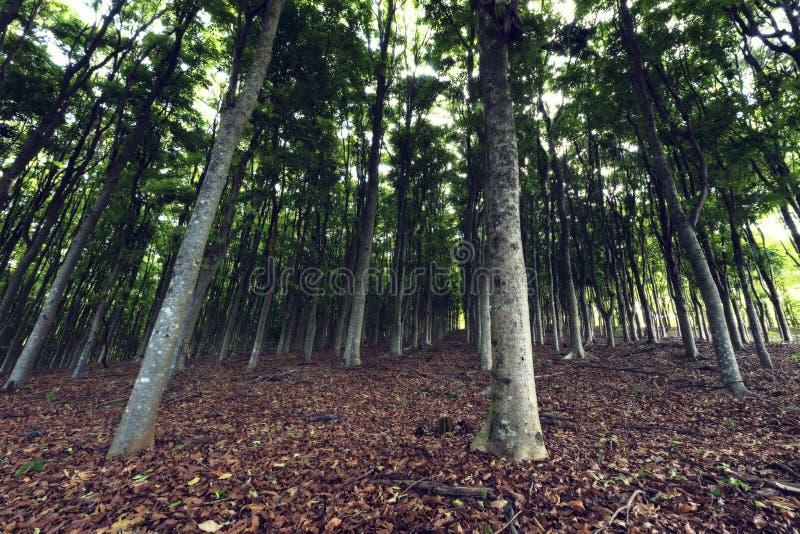 Строки высоких деревьев в коричневом цвете плантации растущем выходят стоковое фото