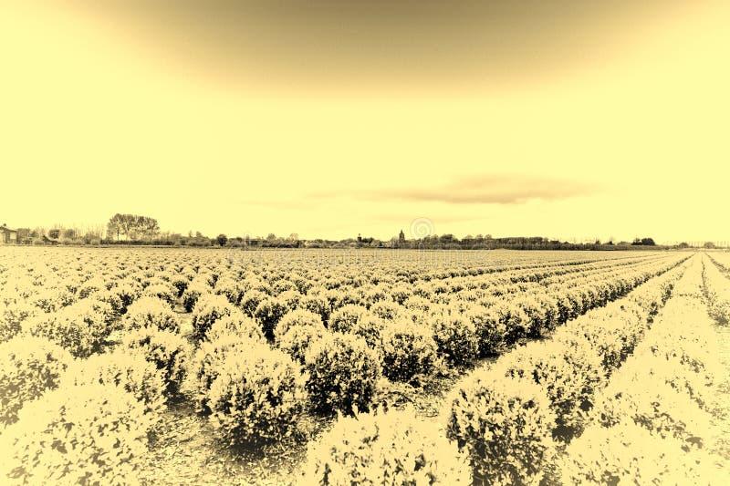 Строки завода в Голландии стоковое фото rf