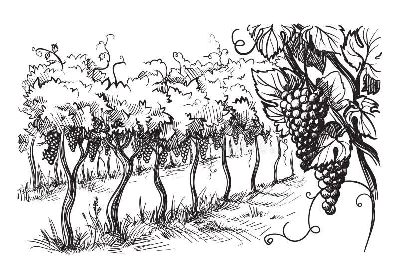 Строки заводов виноградины виноградника бесплатная иллюстрация