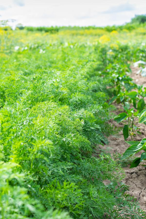 Строки зеленых верхних частей моркови стоковое изображение rf