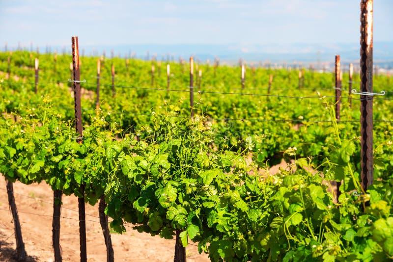 Строки зеленых лоз в винограднике стоковые фотографии rf