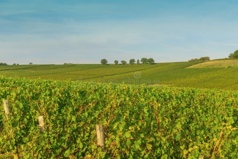 Строки ландшафта виноградины виноградника в Бургундии, Франции стоковая фотография
