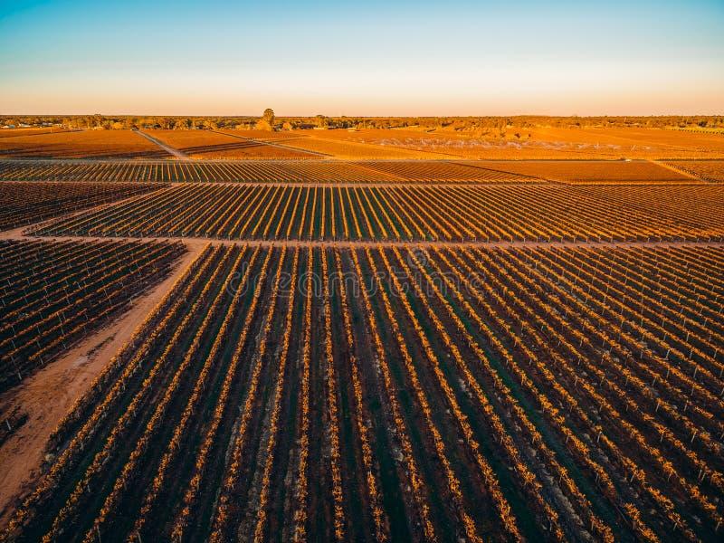 Строки лоз в южных австралийских виноградниках стоковое изображение rf