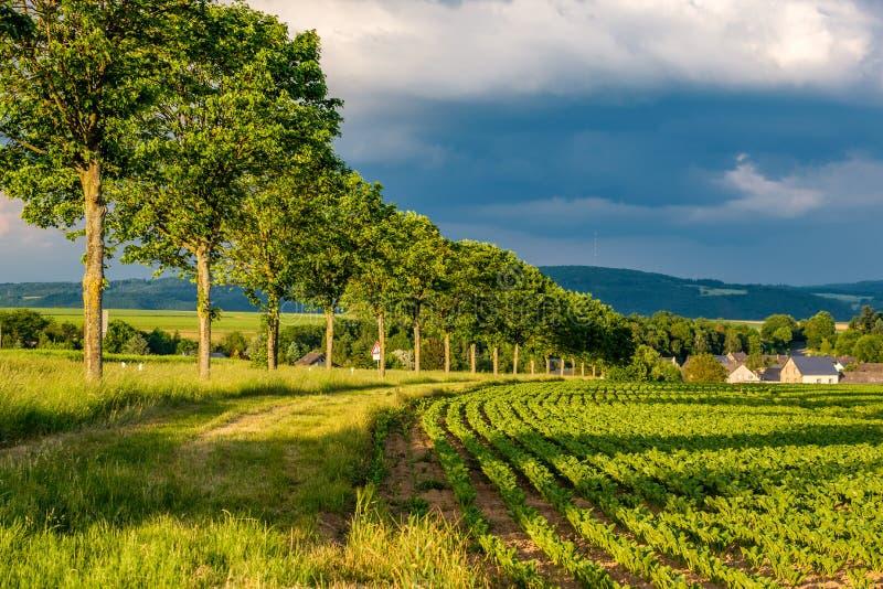 Строки молодых зеленых растений на плодородном поле с темной почвой в теплой солнечности под драматическим небом стоковая фотография