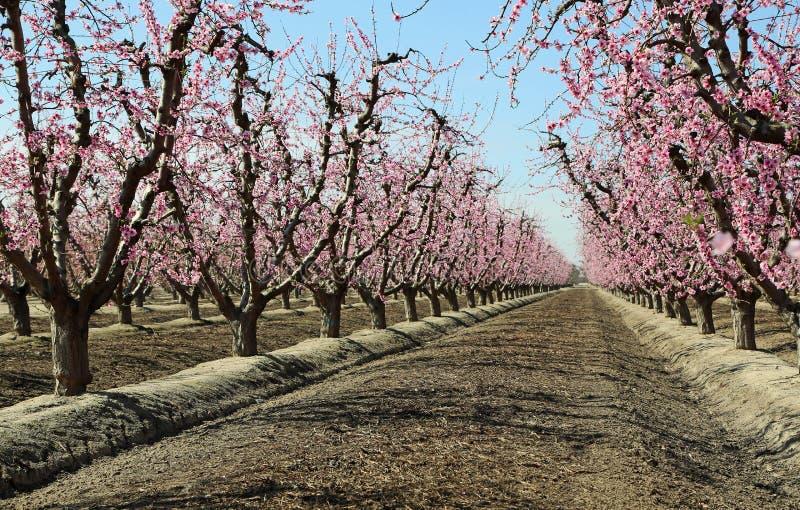 Строки персикового дерева стоковые фото