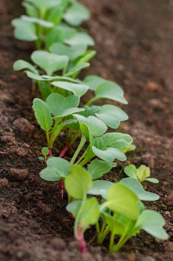 Строки саженцев редиски в саде Органическая здоровая еда от вашего собственного сада Кровать сада с растущей редиской стоковые фотографии rf