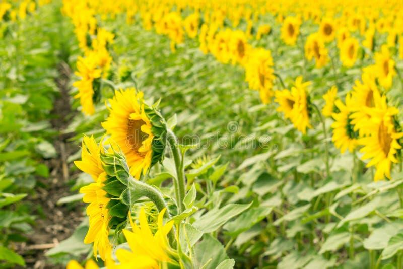 Строки солнцецветов на поле Яркая задняя часть желтого зеленого цвета флористическая стоковое изображение rf