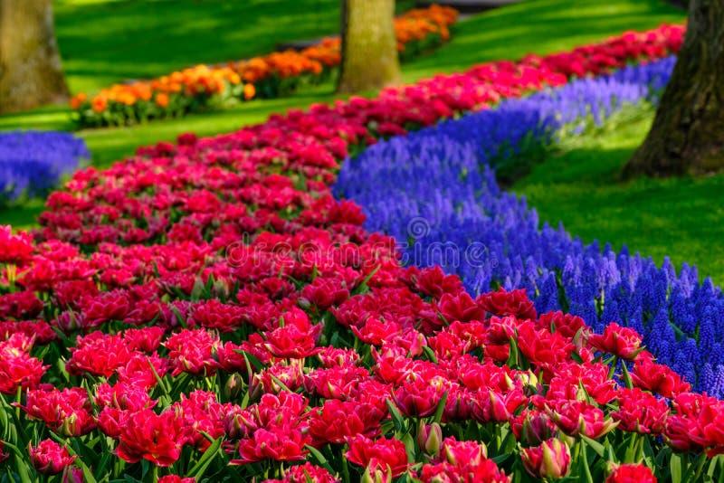 Строки тюльпанов и гиацинтов muscari на садах Keukenhof, Lisse, южной Голландии Сфотографированный в динамическом диапазоне HDR в стоковые фотографии rf