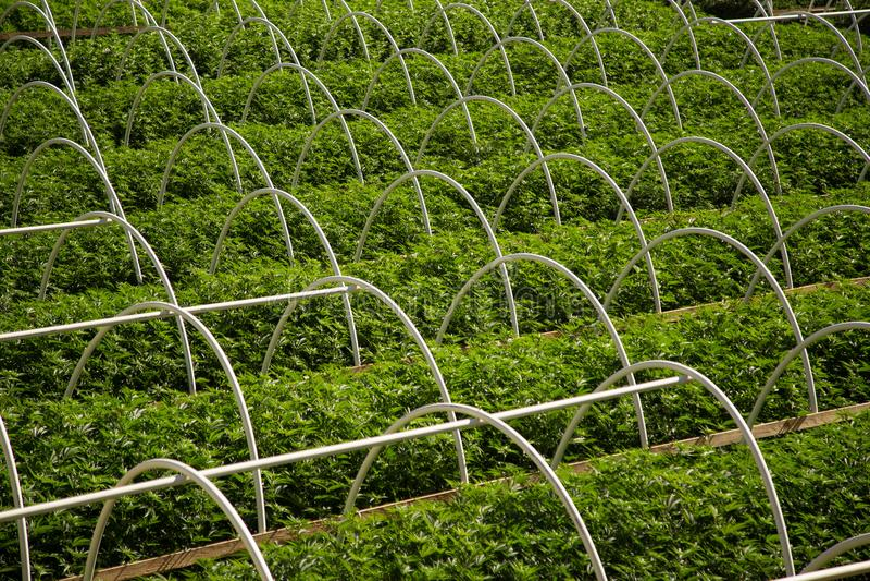 Строки фермы конопли стоковое изображение rf