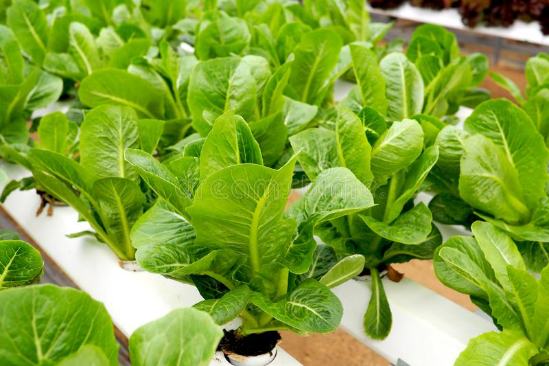 Строки hydroponic салата растя в оранжерее стоковая фотография