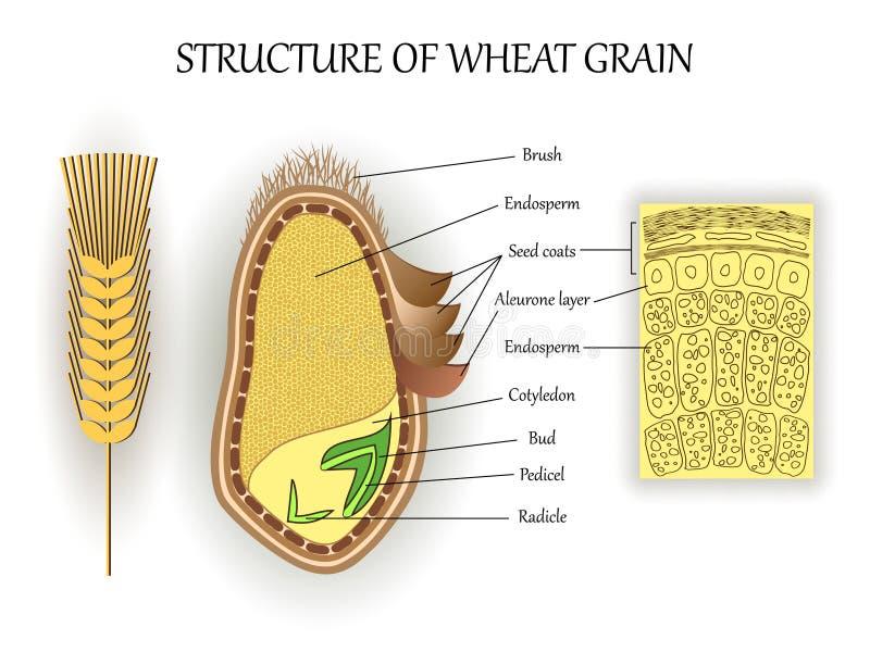 Структура зерна семени пшеницы, слои вектора эндосперма, бутона, pedicel, шелушит анатомический плакат Знамя науки ботаники биоло бесплатная иллюстрация