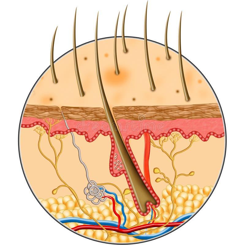 структура кожи человека внутренняя иллюстрация штока