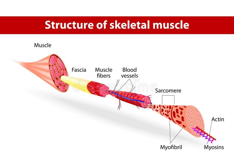 Структура скелетной мышцы иллюстрация вектора