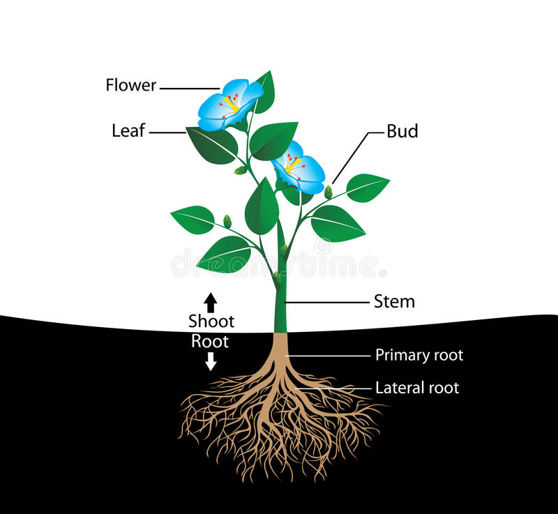 структура цветка бесплатная иллюстрация