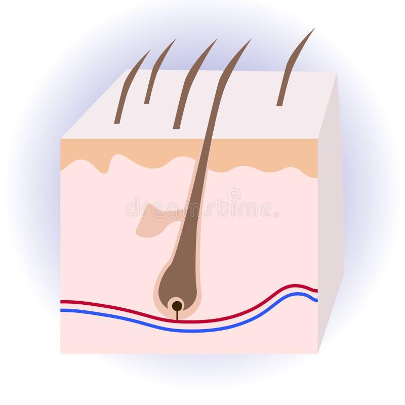Структура человеческих волос Анатомический знак иллюстрация вектора