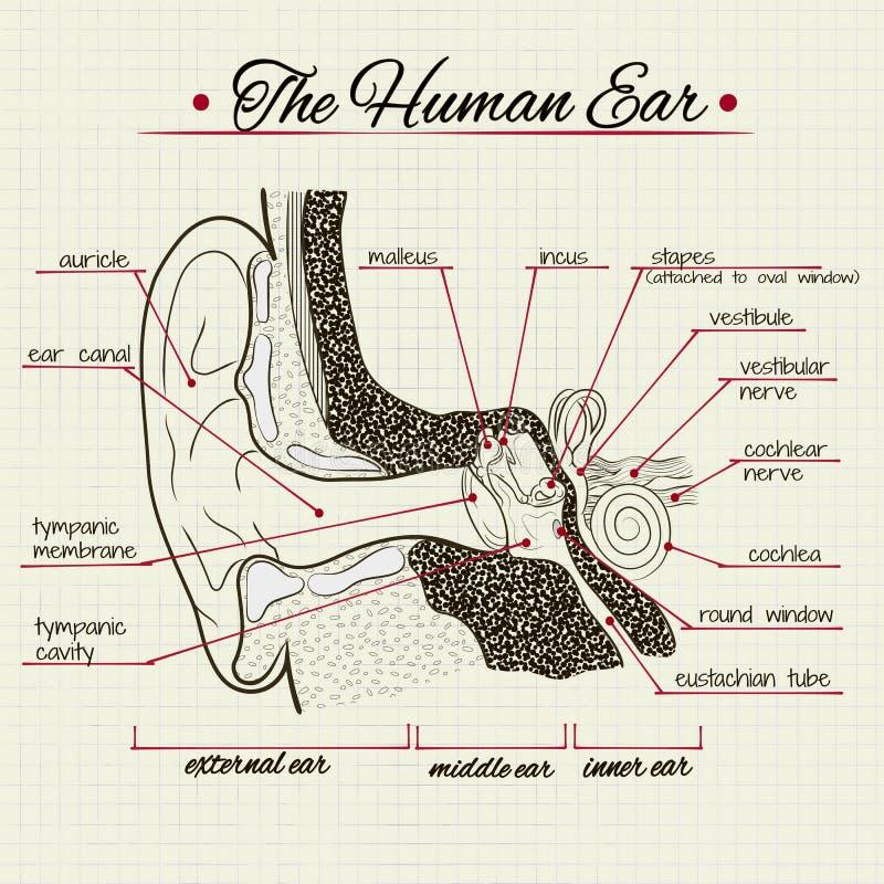 Структура человеческого уха иллюстрация штока