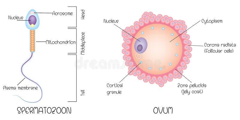 Структура яйца и спермы бесплатная иллюстрация