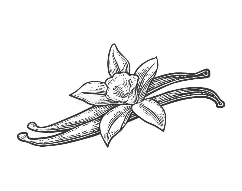Стручки и цветок ванили Выгравированный год сбора винограда вектора черный иллюстрация вектора