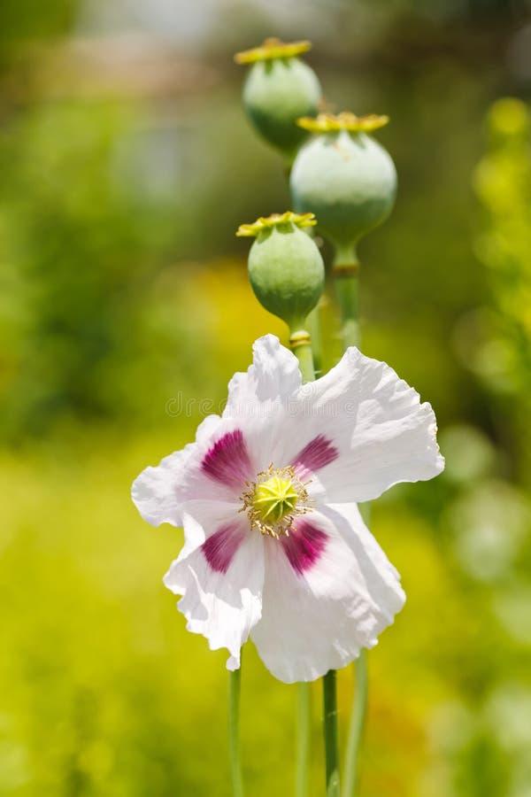 Стручки и цветок мака стоковые фотографии rf