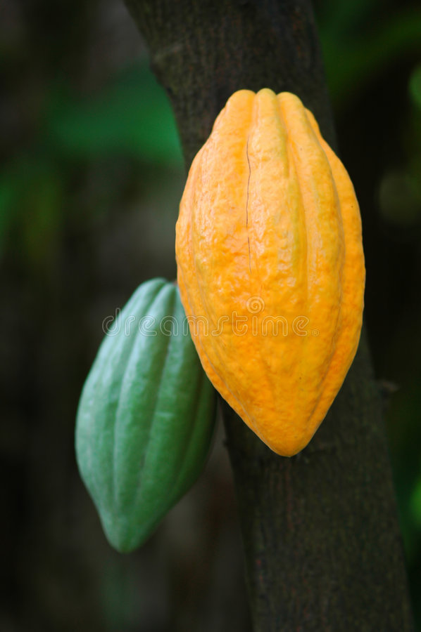 стручки какао стоковое фото