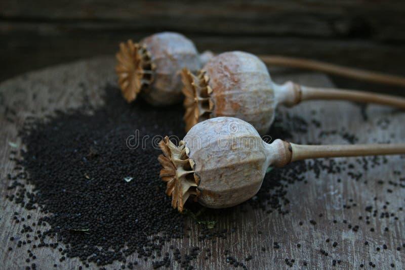 Стручки макового семенени стоковое изображение rf