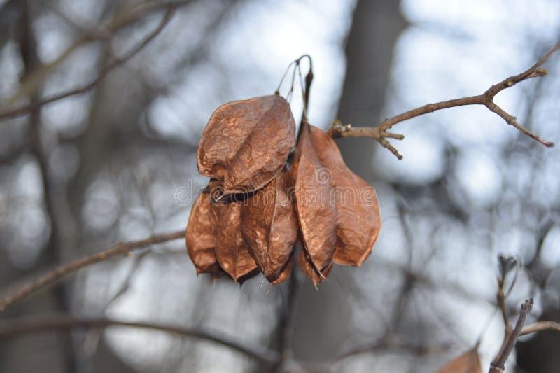 Стручки семени американского bladdernut стоковая фотография