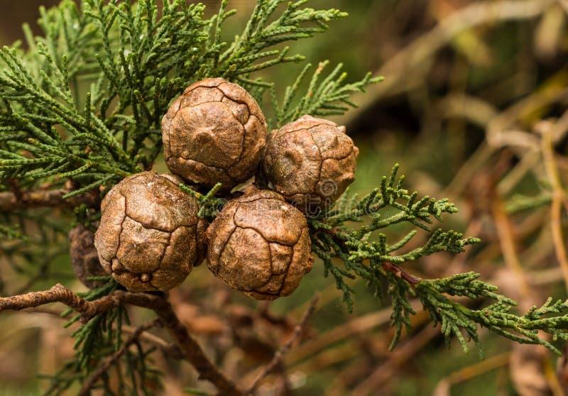 Стручки семени Macrocarpa кипариса стоковое фото