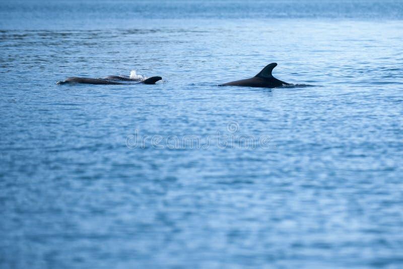 Стручок дельфинов стоковая фотография